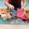 寵物部落客推薦8款飼養柴犬必備居家用品