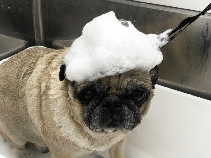 使用犬用洗毛精的必要性