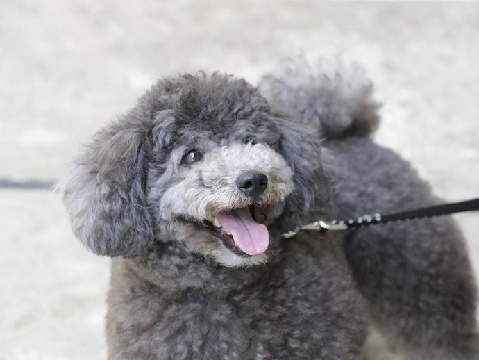 適時給予高齡犬零食以促進健康的維持