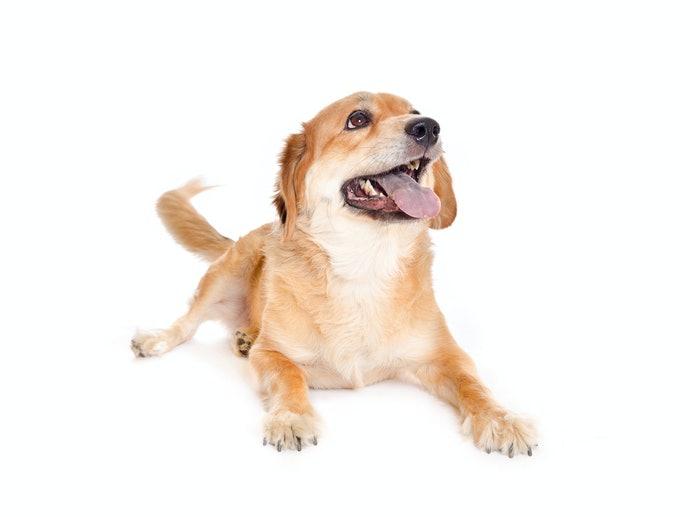 老犬:低熱量、高營養