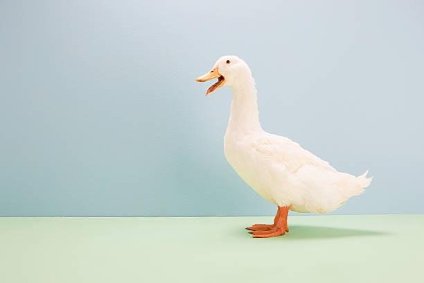 鵝毛:具備卓越的保暖能力