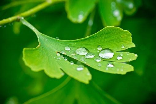 銀杏葉萃取物:提亮、淡化斑點