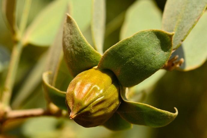 荷荷芭油是什麼?